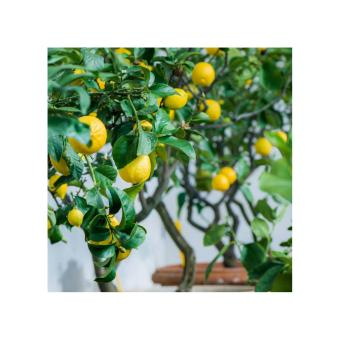 Harga Bibit Bunga Benih Lemon Basil Kemangi Termurah Katalog Source Amefurashi Benih Bibit .