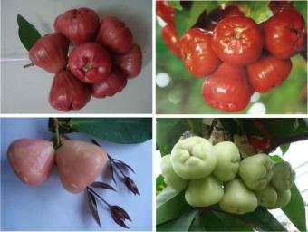 ... Semangka Mix Daftar Harga Terbaru dan Source biji benih buah strawberry climber berisi 20 butir Lazada