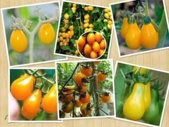 berisi 30 biji benih buah tomat golden mix