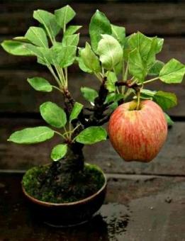 berisi 4 biji benih bonsai buah apel