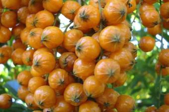 berisi 5 biji benih buah duranta erecta