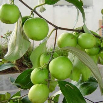... berisi 50 butir biji benih tanaman buah bidara apel