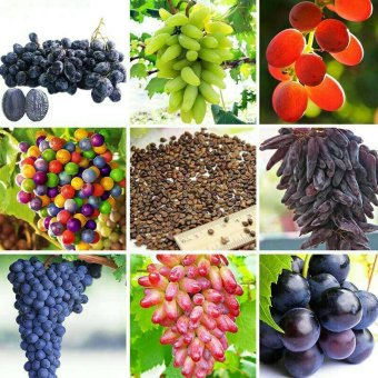 Biji Benih Buah Anggur Mix Berisi 14 Butir