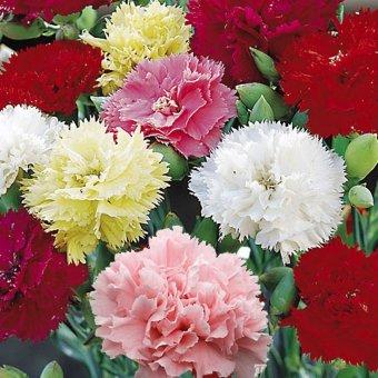 biji benih bunga carnation super series mix berisi 5 butir