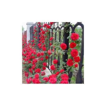 Isi 30 Butir Benih Bunga Mawar Rambat Merah / Climbing Red Rose Import