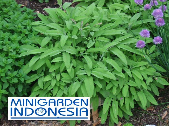 4 Benih Herbal Sage F1 Mr Fothergills Bibit tanaman obat sayur sayuran herb