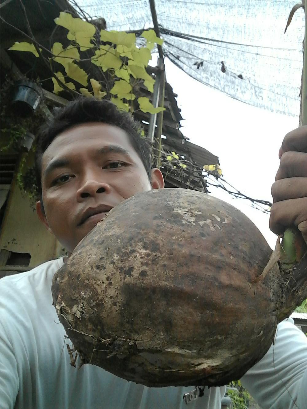 bibit kelapa hibrida hijau paket 10 batang