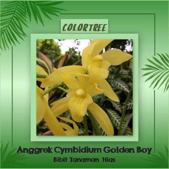 Bibit Tanaman hias anggrek cymbidium golden boy