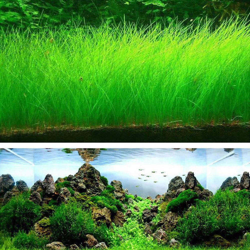... Akuarium Benih Tanaman Aquatic Rumput Air Hiasan Seperti Tangki Ikan Ikan Latar Depan Tanaman Daun Besar ...