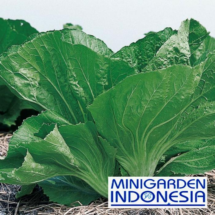 150 Benih Sawi Pahit Morakot Panah Merah Bibit Tanaman Sayuran Hidroponik
