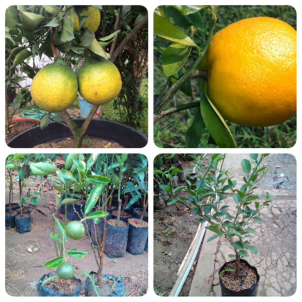 ... COM amefurashi benih bibit buah blewah Source Peket Bibit Jeruk Manis 4 Varietas