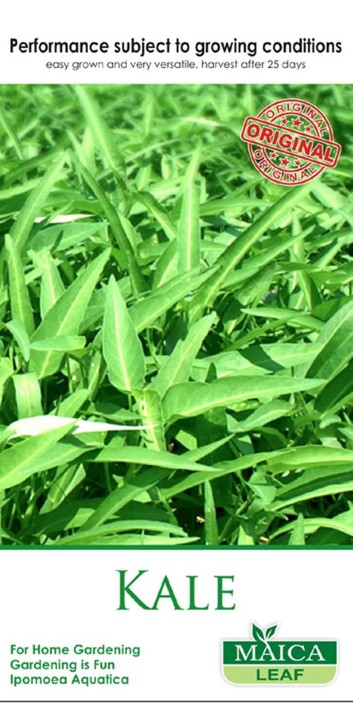 Bibit Bunga Benih Rumput Gajah Elephant Grass 50 Biji Maicaleaf Golf Bermuda Seed Source Kangkung Cabut Kale Maica Leaf Seeds