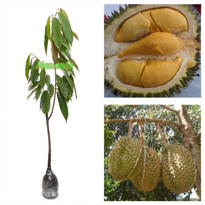 Jual Beli Online Bibit Tanaman Durian Bawor