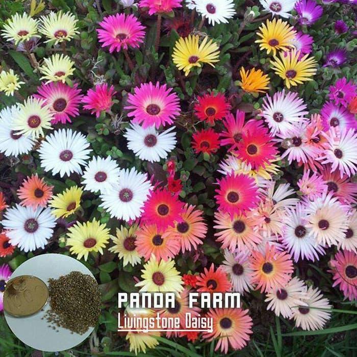 isi 50 benih biji bibit bunga livingstone daisy Import UK