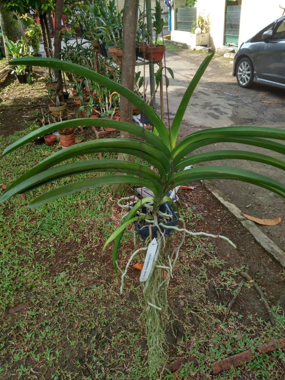 promo Bibit Anggrek Vanda siap bunga tanpa media