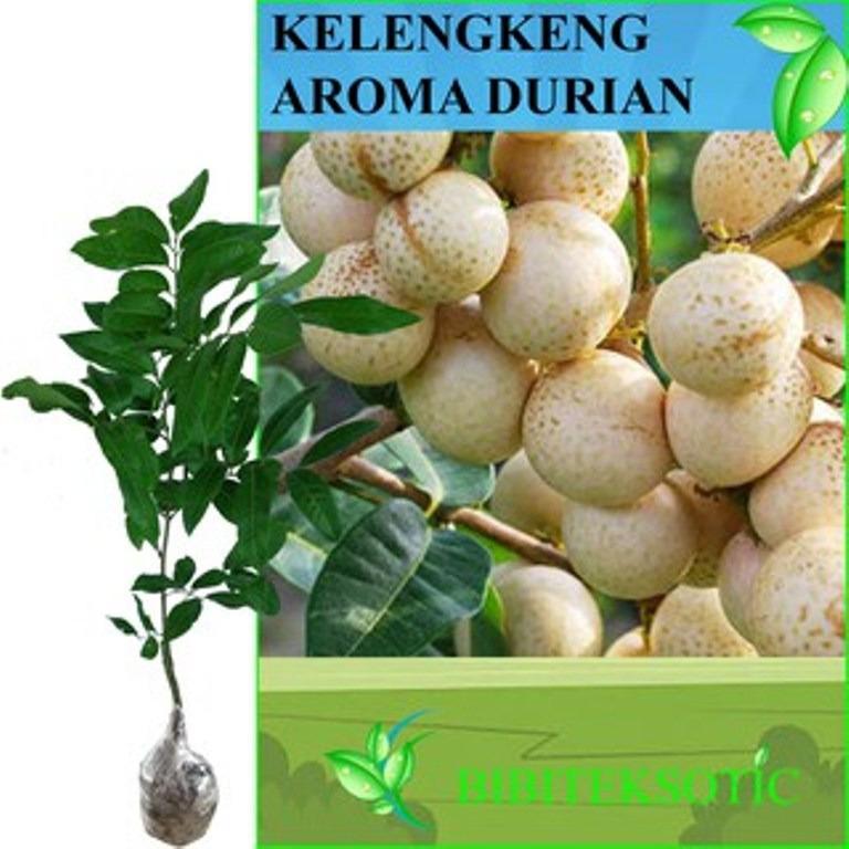 Jual Bibit Eksotic Kelengkeng Aroma Durian Branded Murah