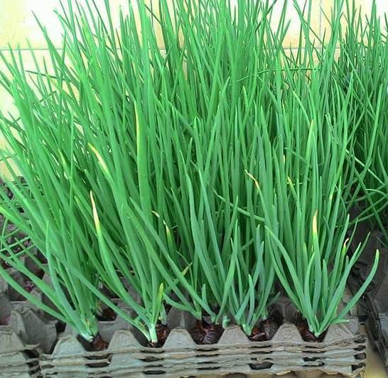 ... Tanaman Sayur Sayuran Hidroponik. Source · 100 Benih Biji Bibit Sayuran Bawang Daun Fragrant
