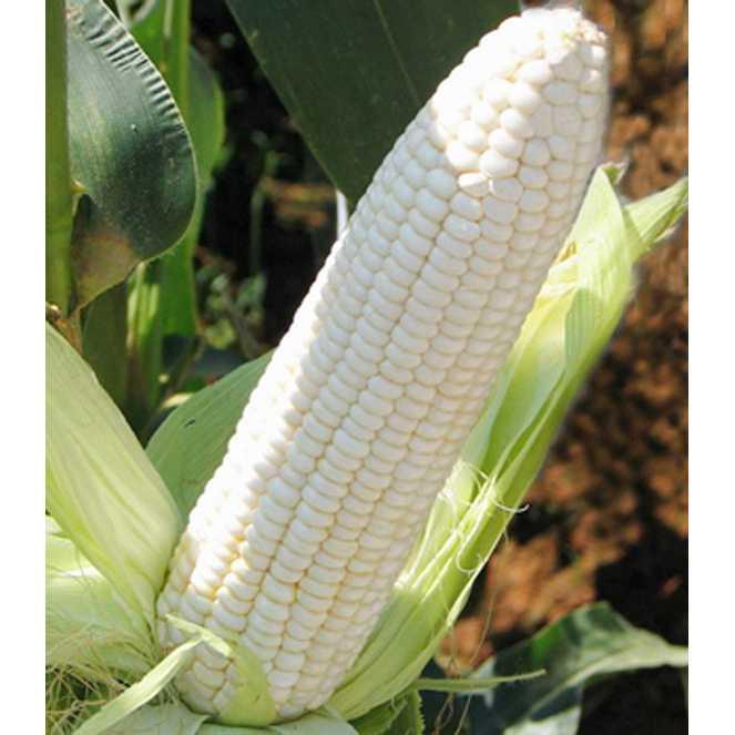 Bibit /Benih /Seed White Corn Jagung Putih Baik Untuk Kesehatan Unik Murah Minimalis