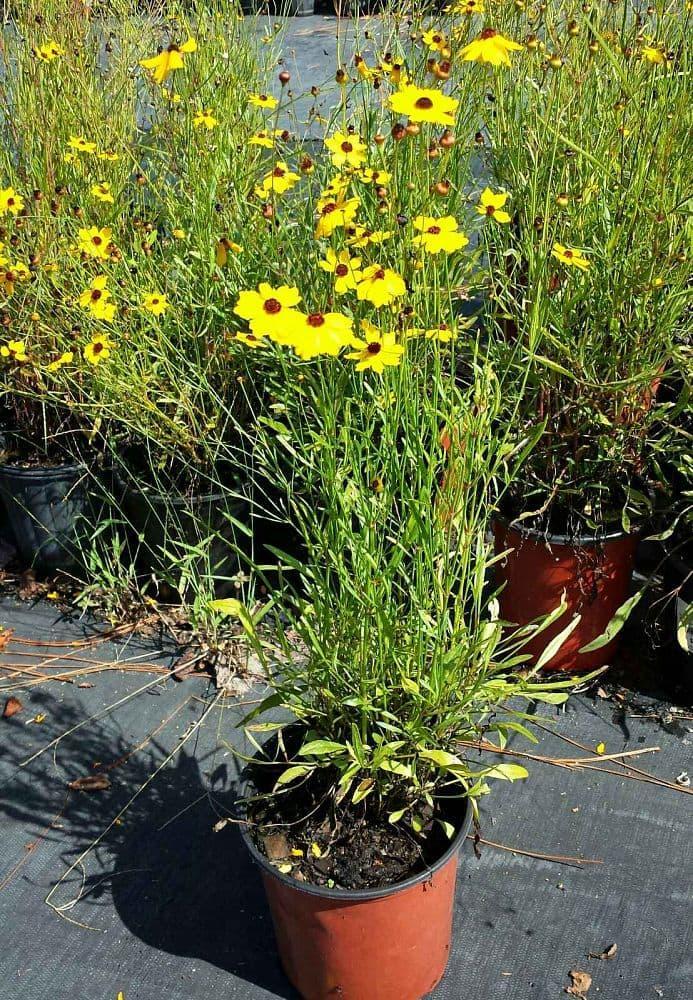 Amefurashi 25 Bibit / Benih Bunga Coreopsis Leavenworthii Yellow FLower - 2