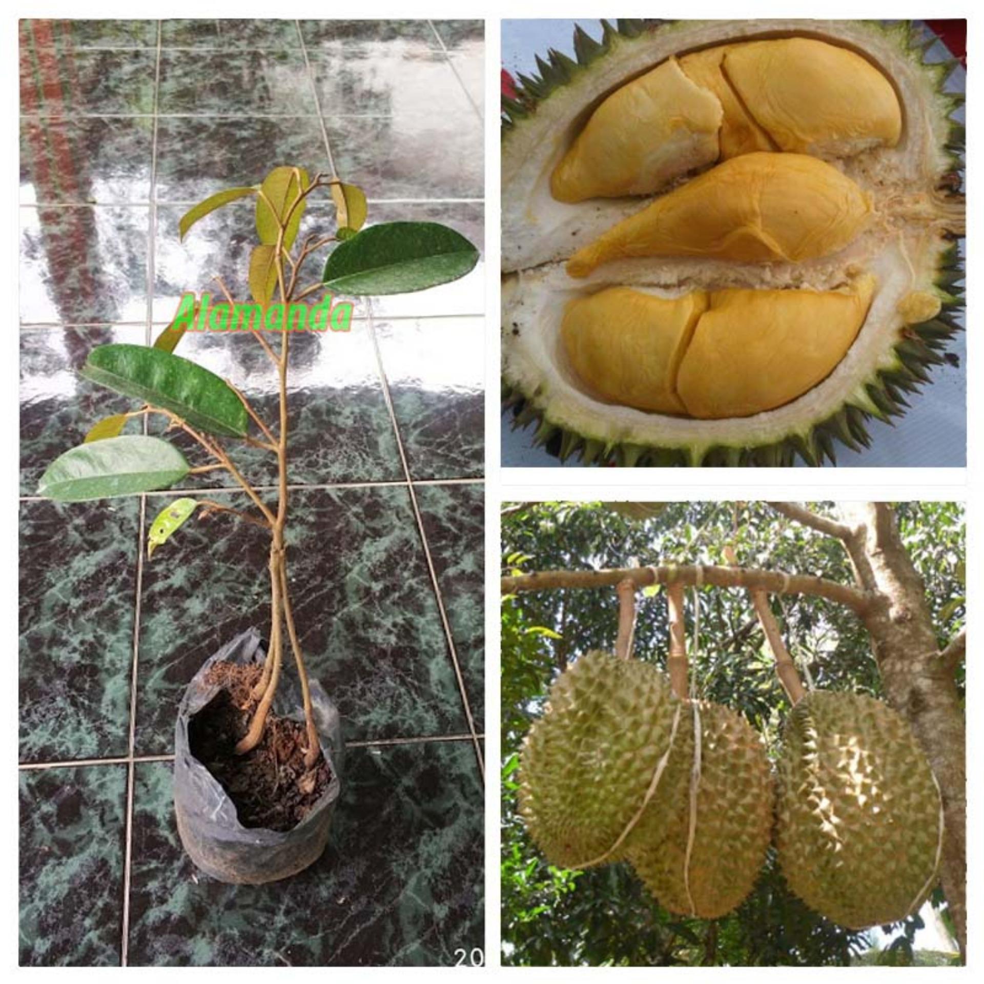 Bibit Tanaman Durian Bawor 3 Kaki