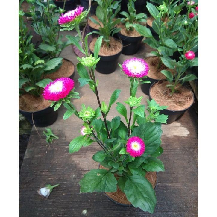 Bibit Tanaman Aster Pink Tumpuk