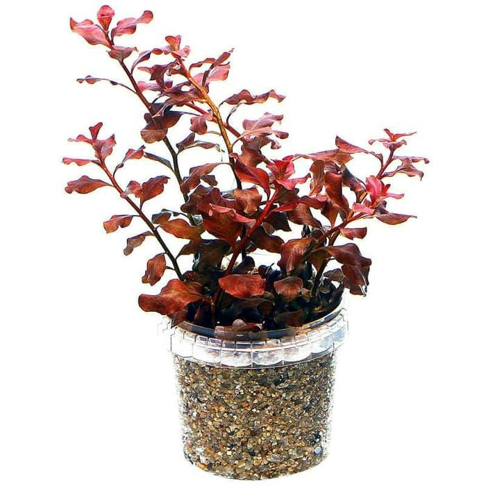 Features Cryptocoryne Tanaman Air Aquascape 15 Rizome And Updated ... bf5d2b58b0