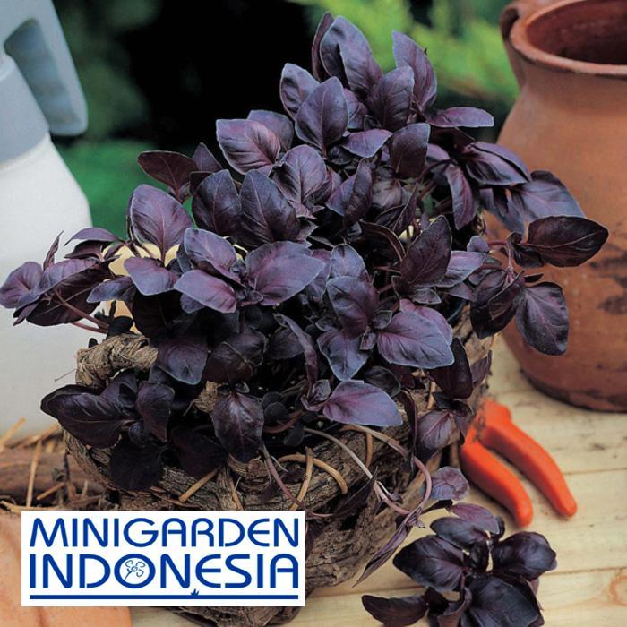 15 Benih Bibit herbal Basil Red Leaved F1 tanaman obat / Sayuran basil ungu / merah