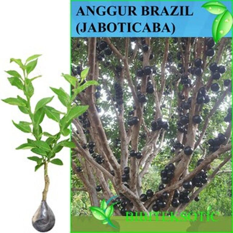 Diskon Bibit Eksotic Anggur Brazil Jaboticaba Bibit Eksotic
