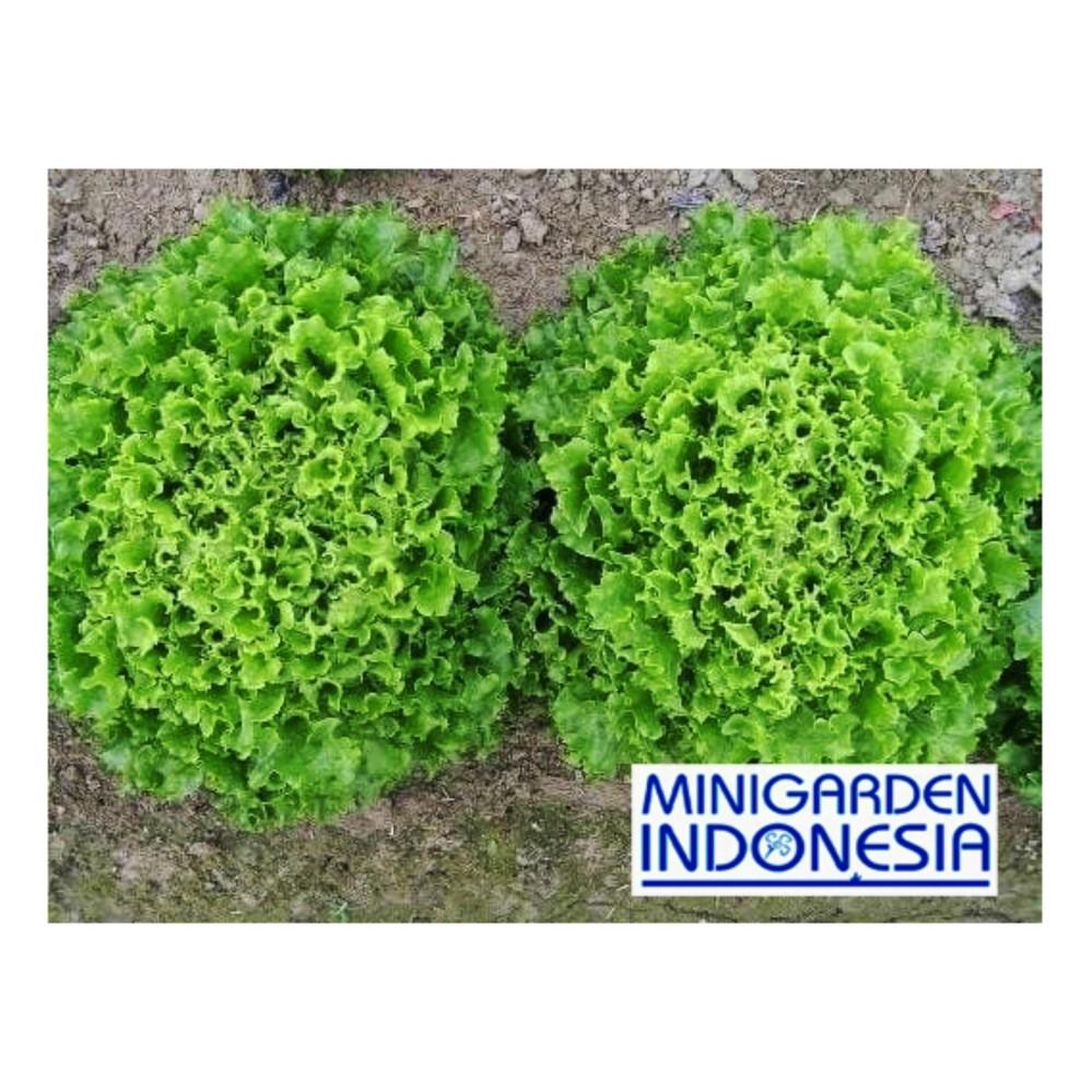 100 benih Selada hijau salad matt green bibit sayuran hidroponik