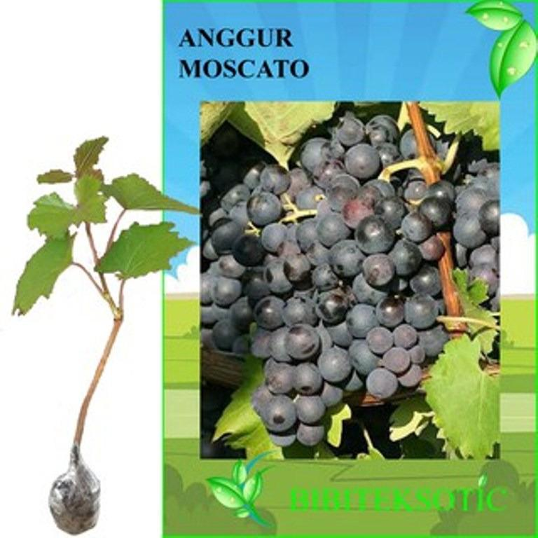 Jual Bibit Eksotic Anggur Moscato Branded Original