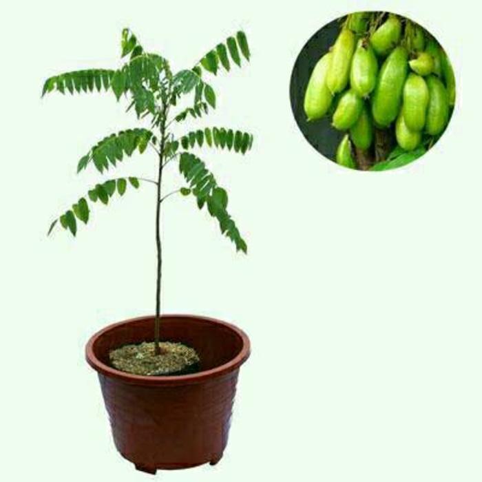 berisi 1 biji benih bonsai buah lychee. Source · Bibit Belimbing Wuluh