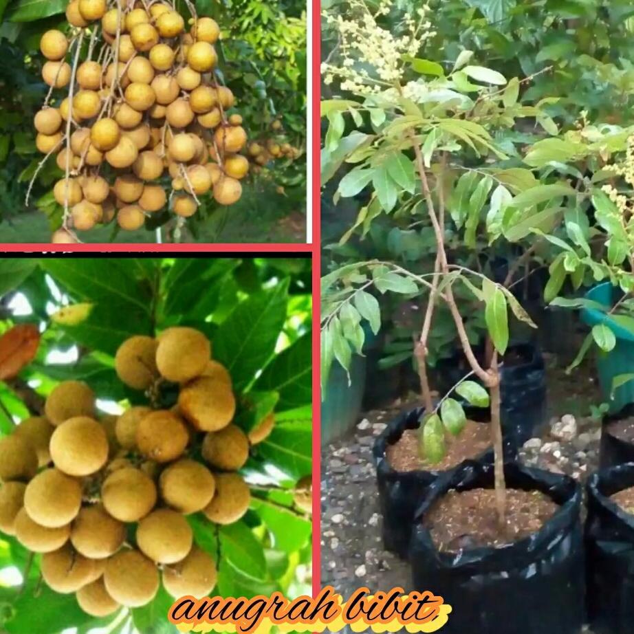 Bibit buah kelengkeng pimpong