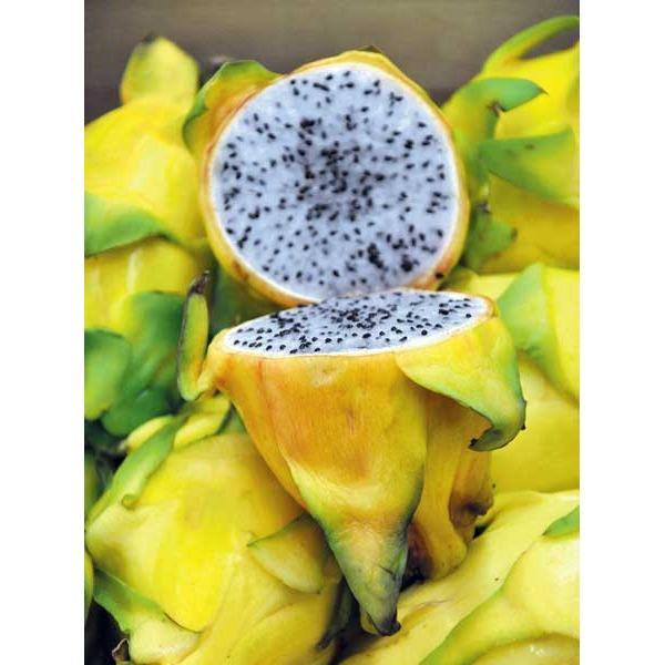 benih/biji/bibit buah naga kuning benih/biji/bibit buah naga kuning