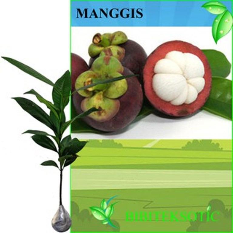 Bibit Eksotic Manggis