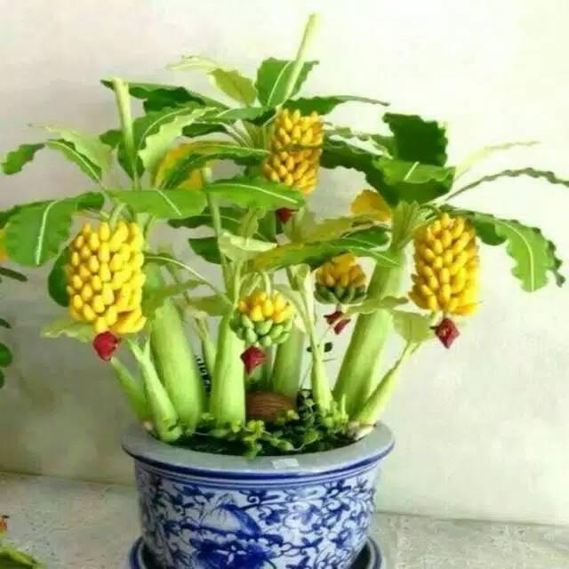 isi 5 benih buah pisang mini warna mix import atau banana bonsai
