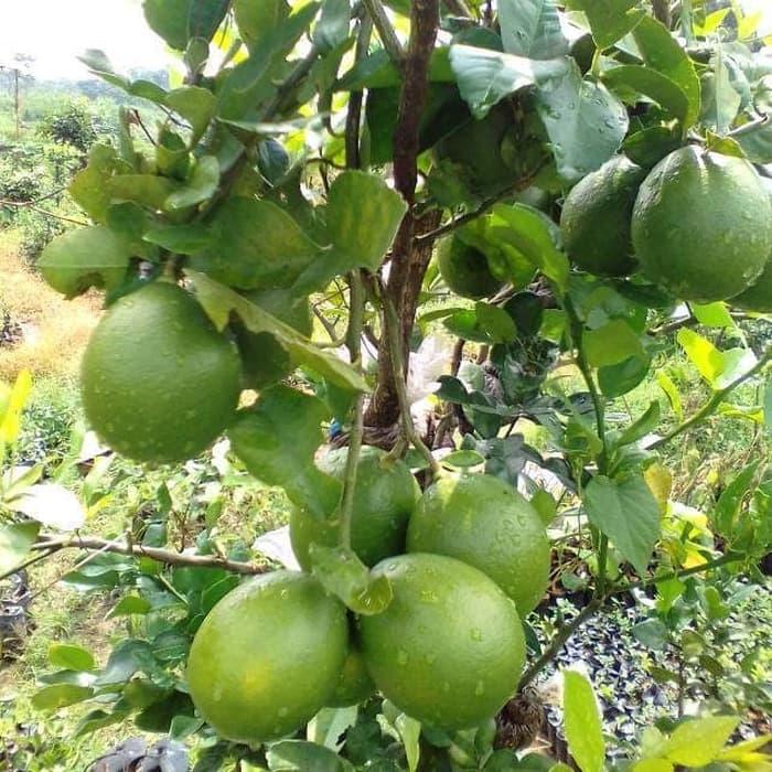bibit jeruk nipis bibit jeruk nipis original flora pohon jeruk