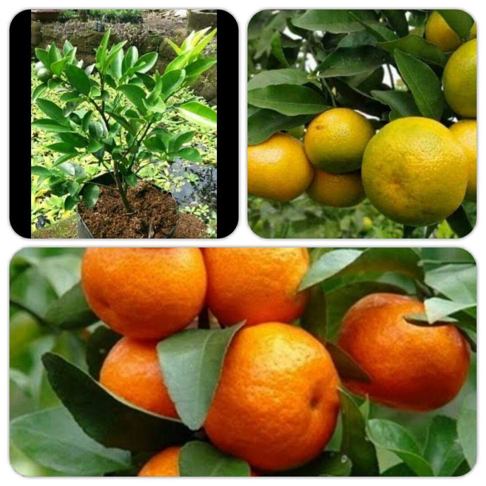 jeruk sunkist cepat berbuah