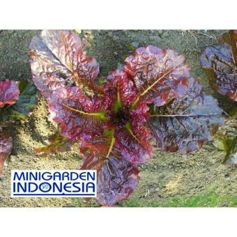150 Benih Bibit Tanaman Sayuran Hidroponik /Selada/Lettuce Kayla Red