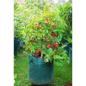berisi 3 biji benih bonsai buah jambu air merah
