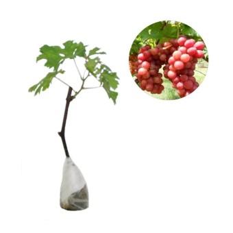 berisi 5 biji benih / bibit bonsai buah anggur merah