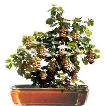 berisi 5 biji benih bonsai buah anggur merah