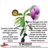 bibit tanaman buah - Mangga Irwin - 2