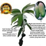 bibit tanaman buah - Mangga MAHATIR - 2