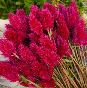Harga Bibit Bunga Benih Celosia Eternity Improved
