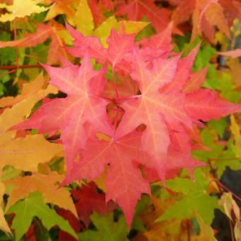 Harga Bibit Bunga Benih Shantung Maple