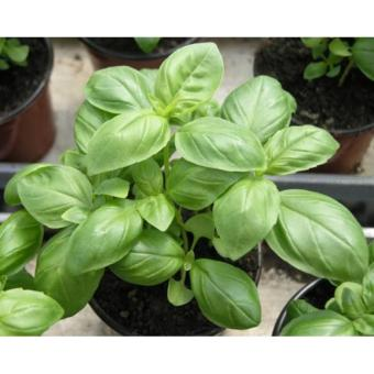 Isi 110 Butir Benih Herbs ORI Import UK England Basil Sweet Green Atau Daun Kemangi