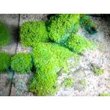 ... Tanaman Akuarium / Aquarium Carpet Seed Aquascape Mini Dwarf - 3