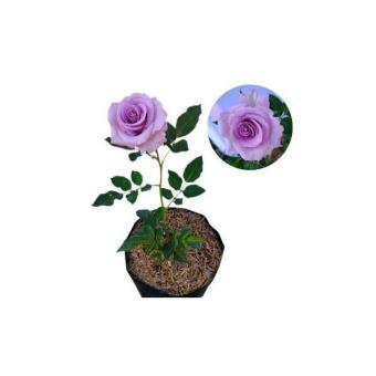 Info Diskon Baru Tanaman Hias Bunga Mawar Baby Rose Harga Terbaru ... 08114b9564