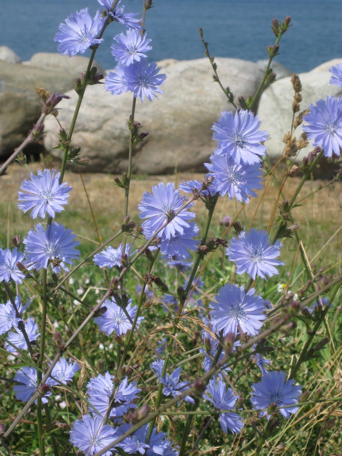 ... Amefurashi 30 Benih Bunga Blue Chicory - 5