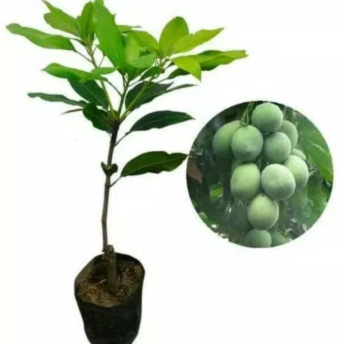 bibit mangga harum manis pohon mangga bibit buah mangga harum manis